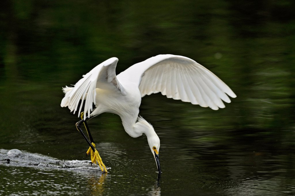 Stock Photo: 1990-42381 Snowy egret Egretta thula Hunting in slough, Everglades National Park, Florida, United States of America