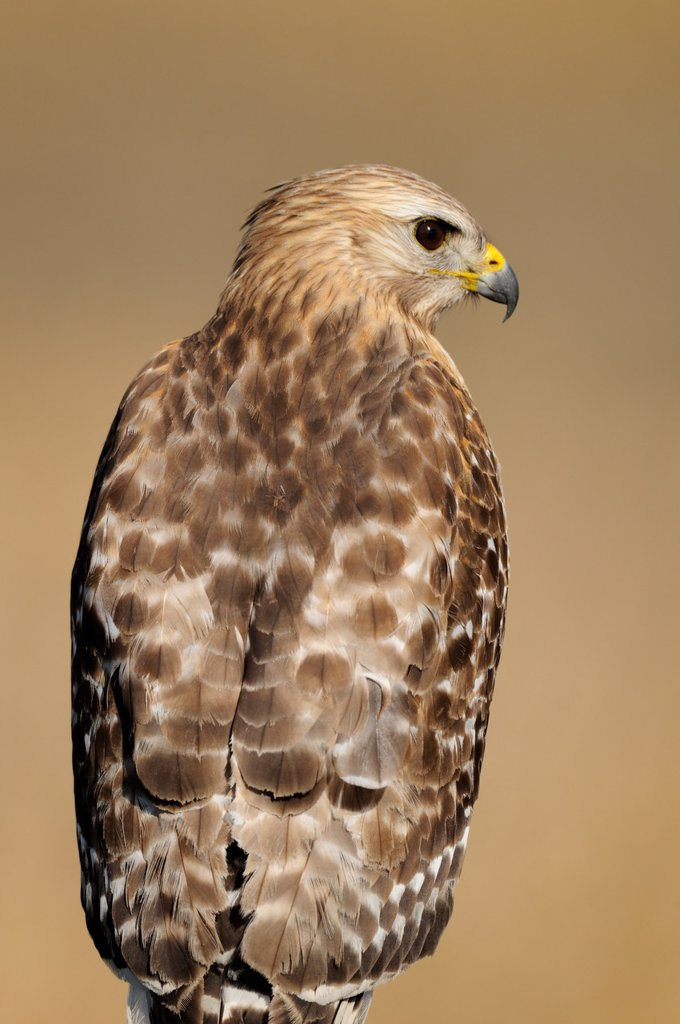 Red shouldered hawk Buteo lineatus, Kissimmee Prairie Preserve State Park, Florida, United States of America : Stock Photo