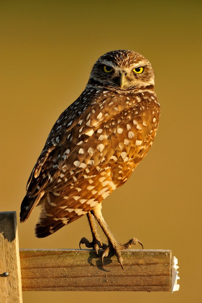 Burrowing owl Athene cunicularia Adult near nest in residential area : Stock Photo