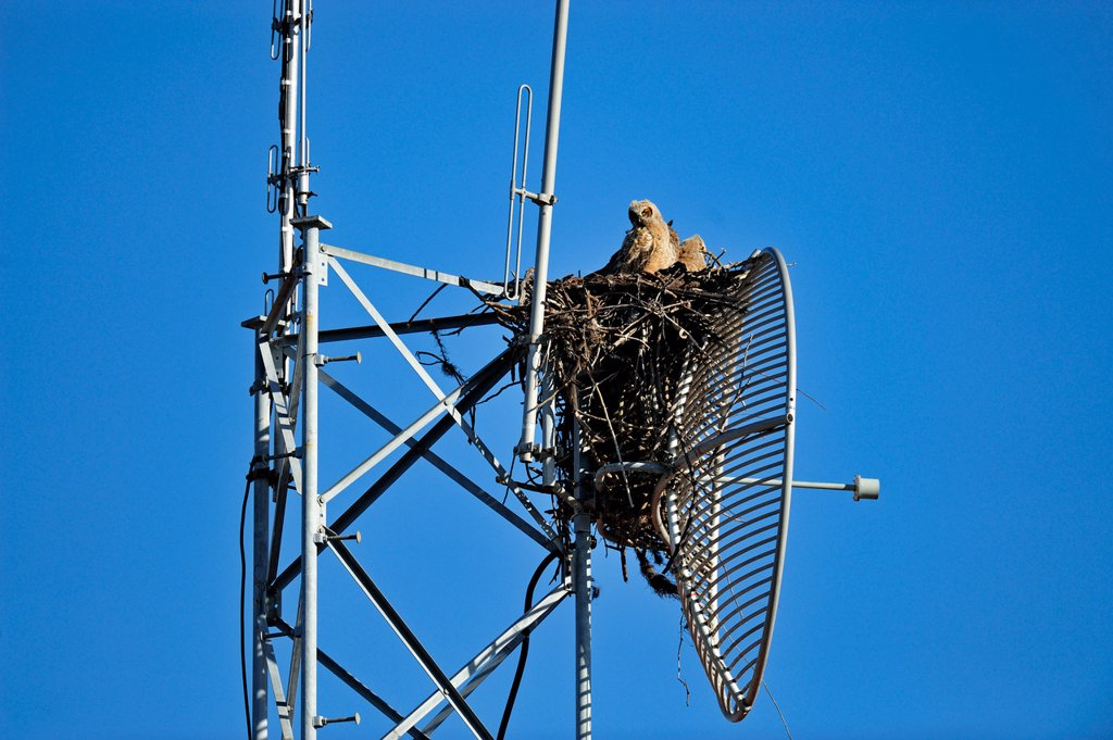 Great horned owl Bubo virgianus Young in nest in communications tower : Stock Photo