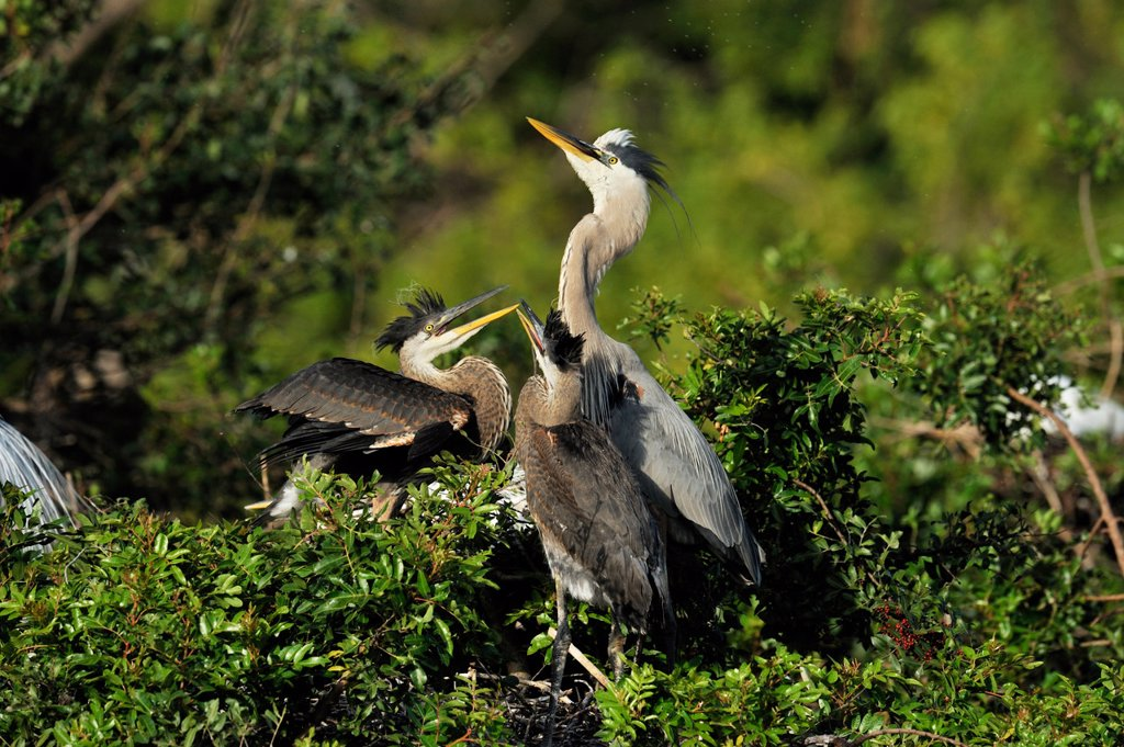 Great blue heron Ardea herodias Young in nest demanding food, Venice Area Audubon Society Rookery, Vencie, Florida, United States of America : Stock Photo