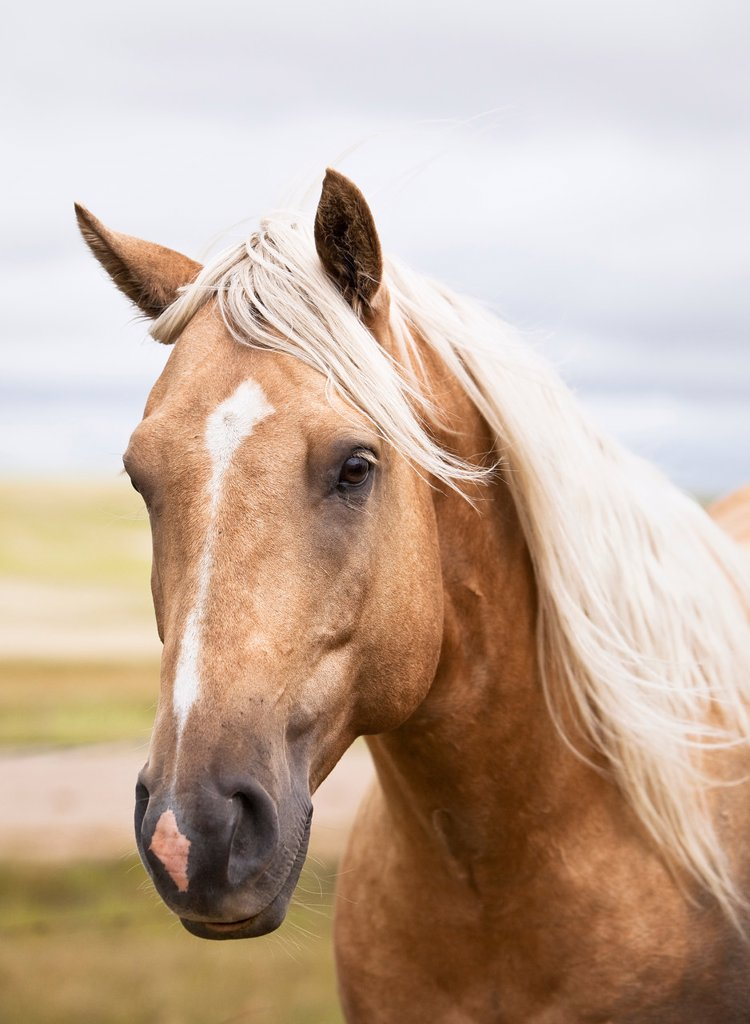 Close up portrait of a horse on the Canadian Prairie. Big Muddy Badlands, Saskatchewan, Canada. : Stock Photo