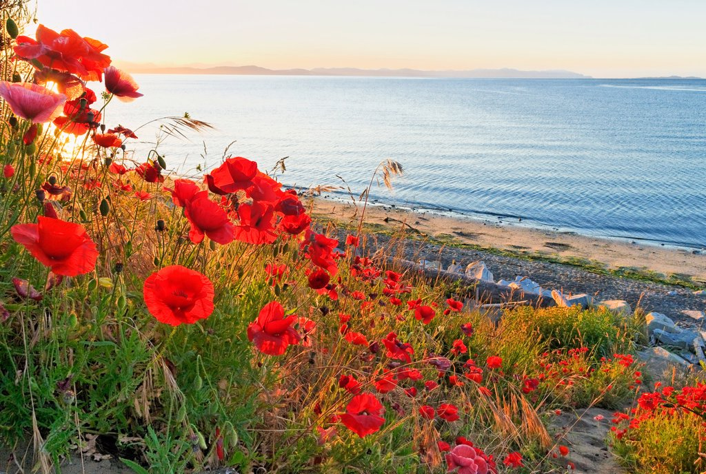 Red poppies at sunrise, Balmoral Beach, Comox, Britiah Columbia, Canada : Stock Photo