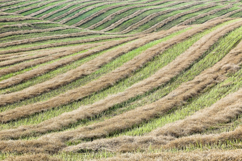 Swathed field and rolling hills at harvest time. Tiger Hills, Manitoba, Canada. : Stock Photo