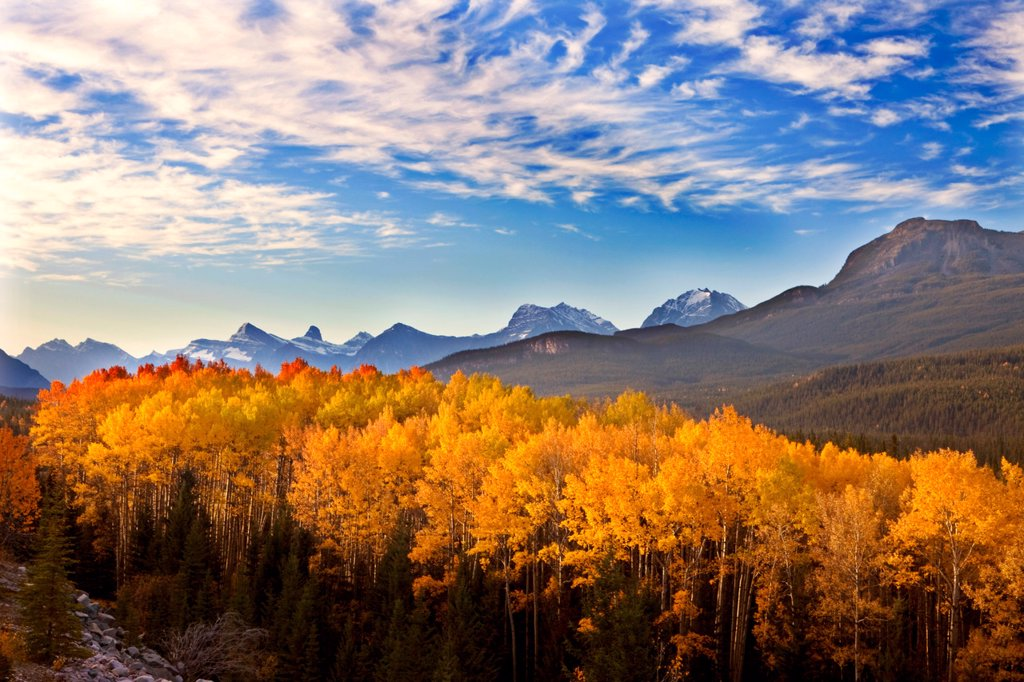 Aspen Grove in the Morning, Northern Jasper National Park, Alberta, Canada : Stock Photo