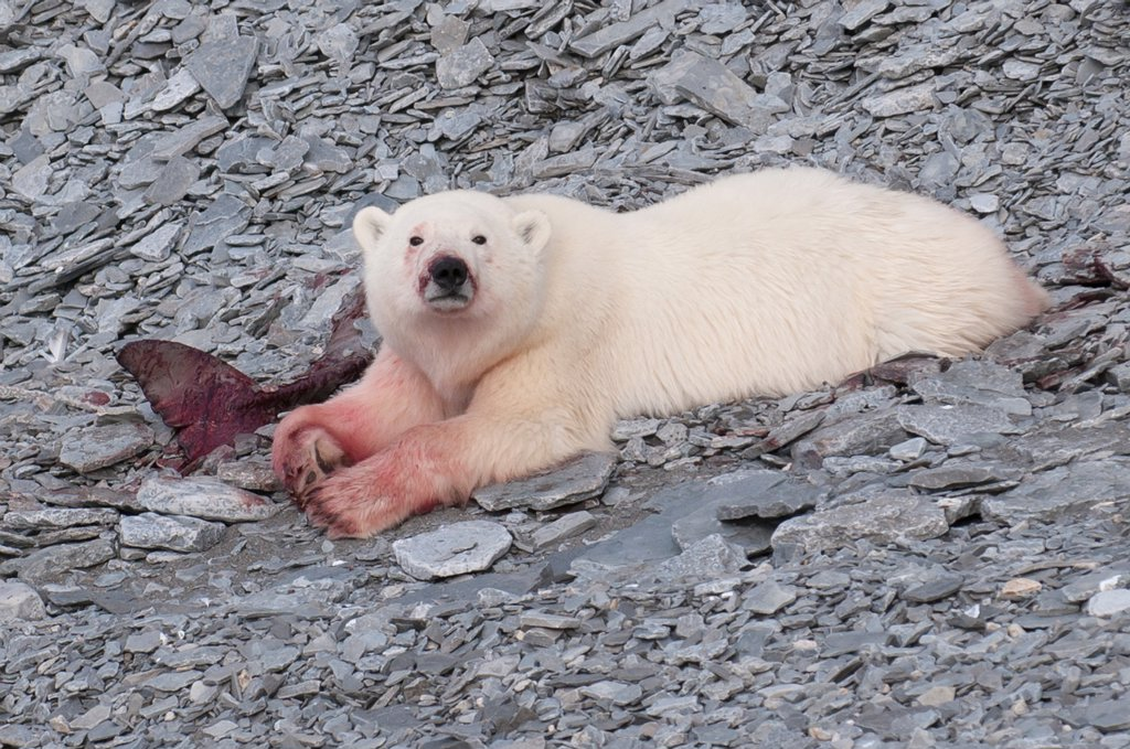 A young polar bear eating a baby whale likely a narwhale on the shore of Devon Island, Nunavut, part of Canada´s Eastern Arctic : Stock Photo