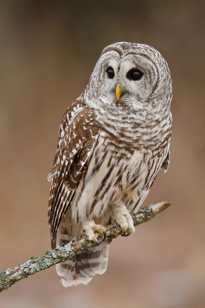 Barred Owl Strix varia perched on a branch. : Stock Photo