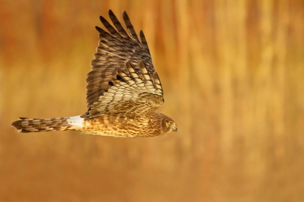 Stock Photo: 1990-44703 Northern Harrier Circus cyaneus flying at the Bosque del Apache wildlife refuge near Socorro, New Mexico, United States of America.