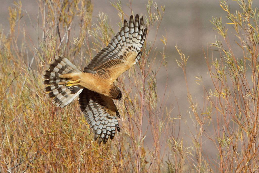 Stock Photo: 1990-44705 Northern Harrier Circus cyaneus flying at the Bosque del Apache wildlife refuge near Socorro, New Mexico, United States of America.