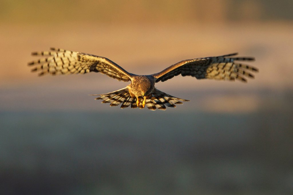 Northern Harrier Circus cyaneus flying at the Bosque del Apache wildlife refuge near Socorro, New Mexico, United States of America. : Stock Photo