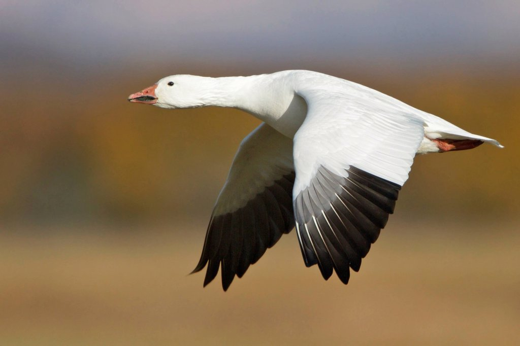 Snow Goose Chen caerulescens flying at the Bosque del Apache wildlife refuge near Socorro, New Mexico, United States of America. : Stock Photo