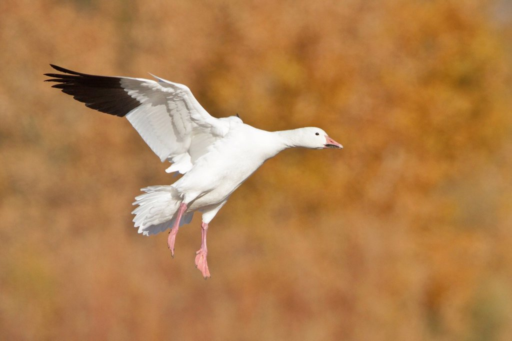 Stock Photo: 1990-44784 Snow Goose Chen caerulescens flying at the Bosque del Apache wildlife refuge near Socorro, New Mexico, United States of America.