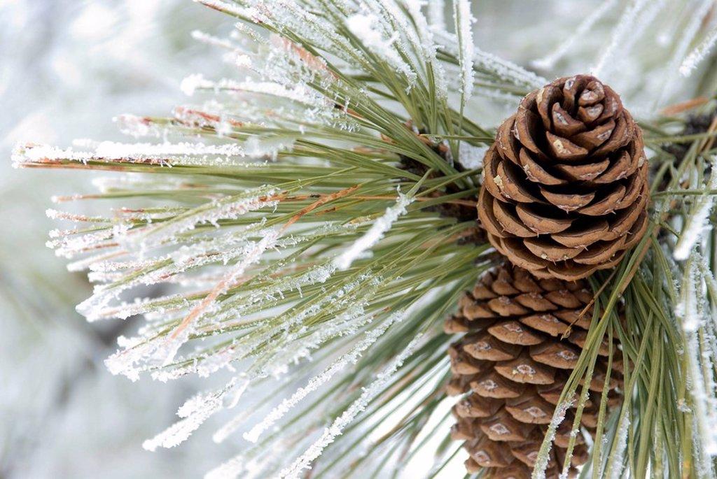 Stock Photo: 1990-4484 Ponderosa Pine with hoarfrost, Kamloops, British Columbia, Canada