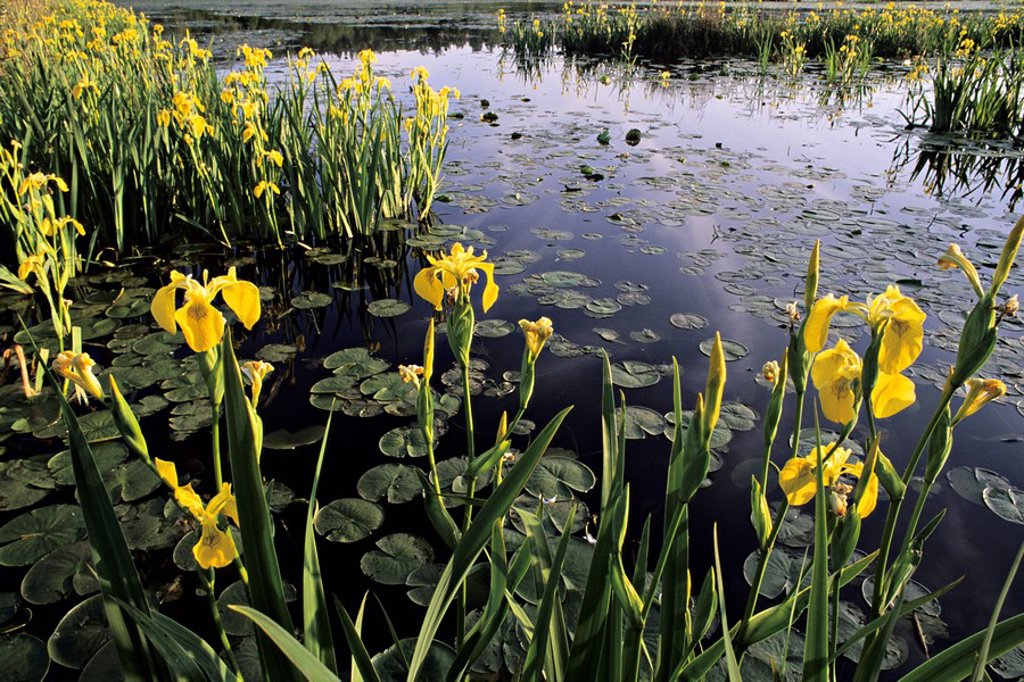 Yellow flag, Iris pseudacorus invasive species, Burnaby Lake Regional Park, Burnaby, British Columbia, Canada : Stock Photo