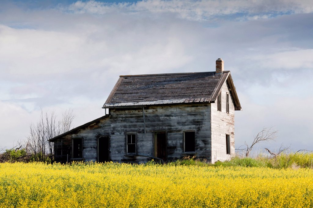 Old abandoned house surrounded by blooming canola fields, Saskatchewan, Canada : Stock Photo