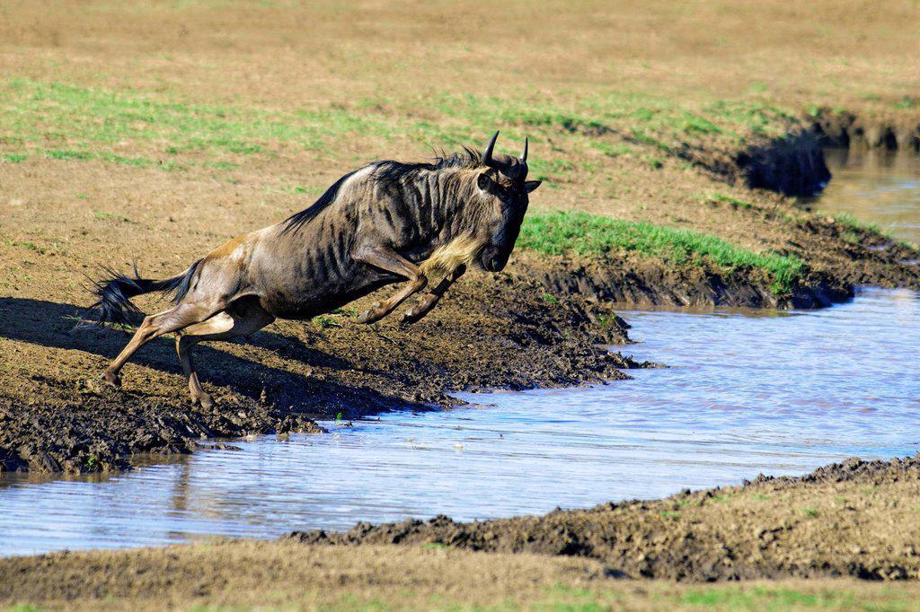 Common wildebeest Connochaetes taurinus in migration, Masai Mara Reserve, Kenya, East Africa : Stock Photo