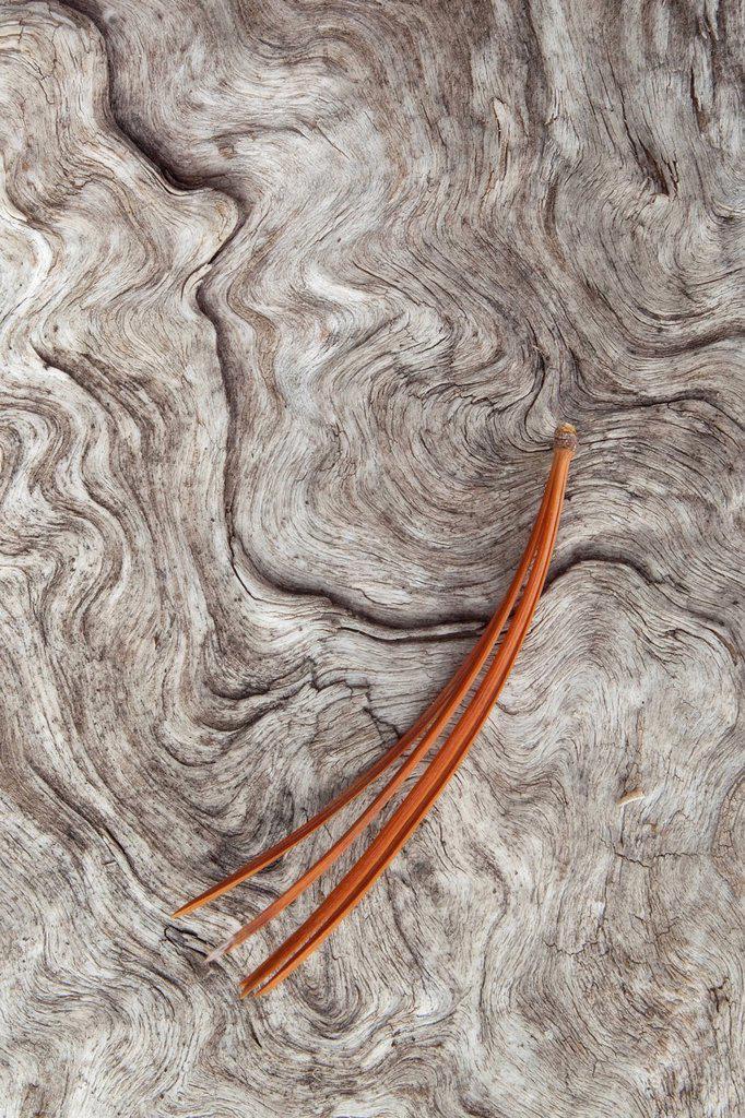 Pine needle on driftwood, Glacier Lake, Alberta, Canada. : Stock Photo