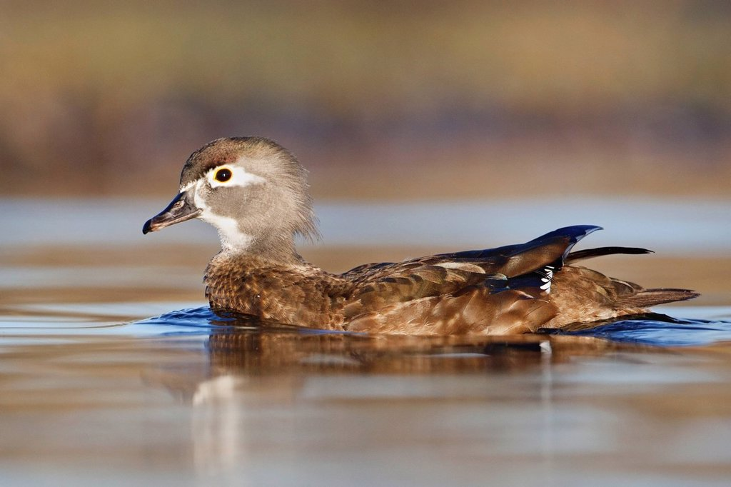 Female Wood Duck, Aix sponsa at Burnaby Lake, in Burnaby, BC, Canada : Stock Photo