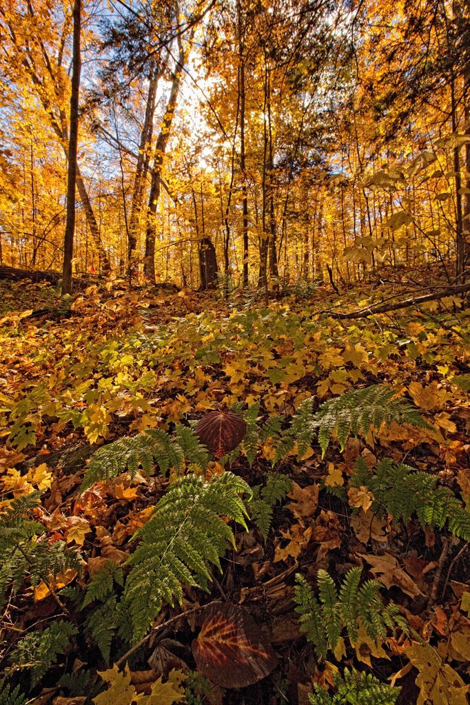 Fall colours and ferns, Algonquin Park, Ontario, Canada. : Stock Photo