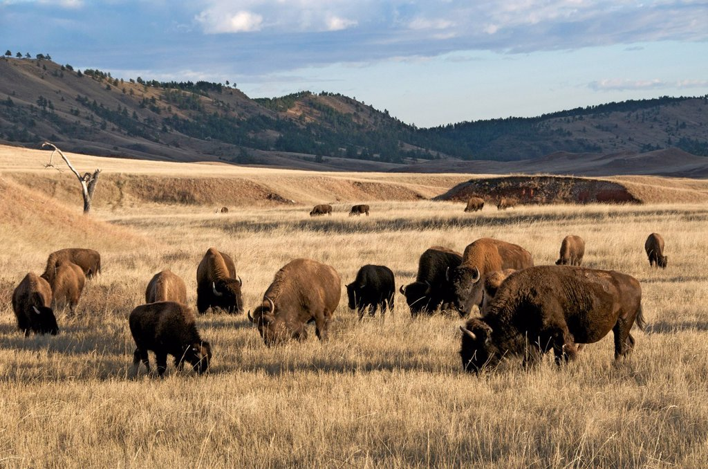 Stock Photo: 1990-46695 Scene of herd of American Bison in mixed grass prairie habitat. Bison bison Also commonly known as the American buffalo. Wind Cave National Park. South Dakota.