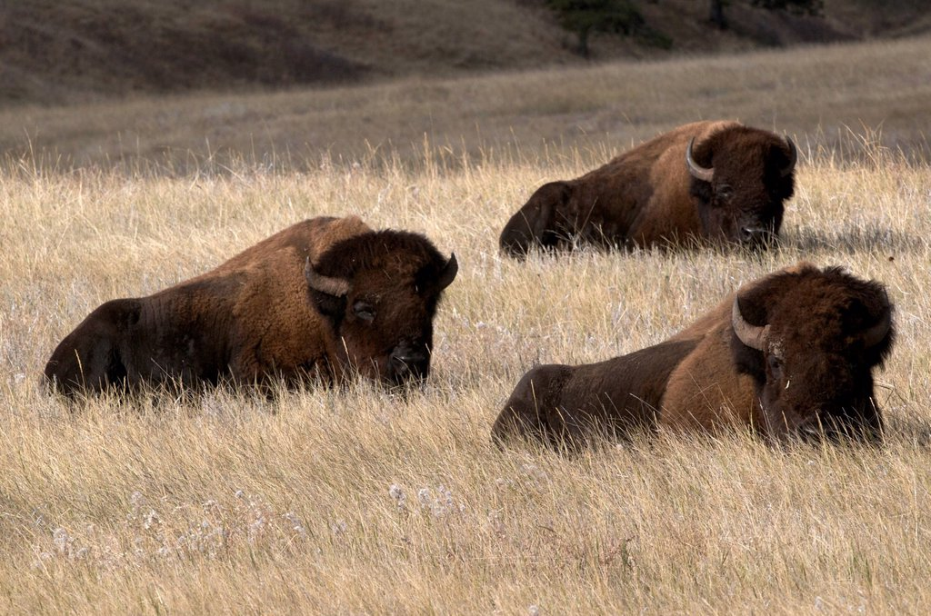 American bison bulls Bison bison, Wind Cave National Park, South Dakota, United States of America. : Stock Photo