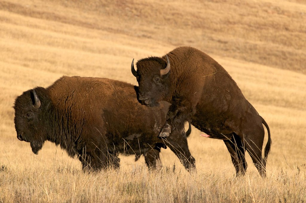 Stock Photo: 1990-46708 American bison Bison bison bulls, Wind Cave National Park, South Dakota, United States of America.