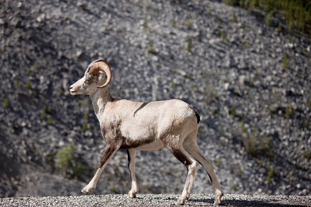 Stone Sheep Ovis dalli stonei ram on the Alaska Highway in Muncho Lake Provincial Park in northern British Columbia, Canada : Stock Photo