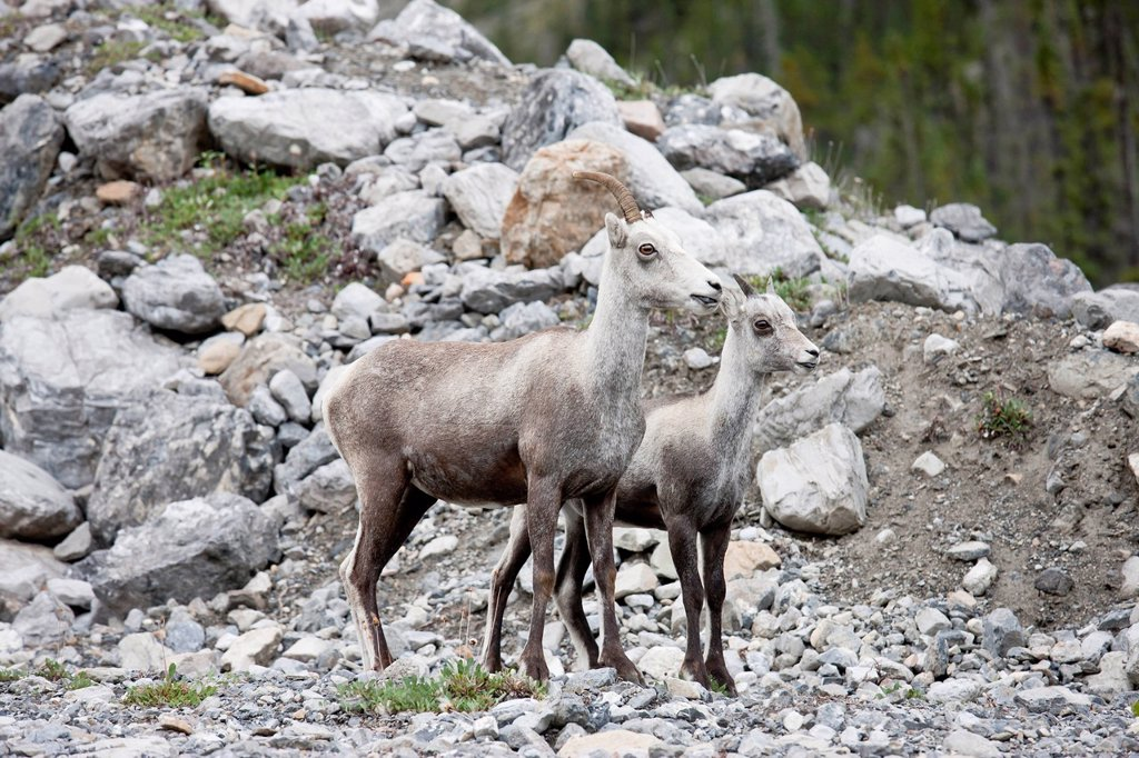 A female Stone Sheep Ovis dalli stonei with one horn and its lamb, Muncho Lake Provincial Park, British Columbia, Canada : Stock Photo