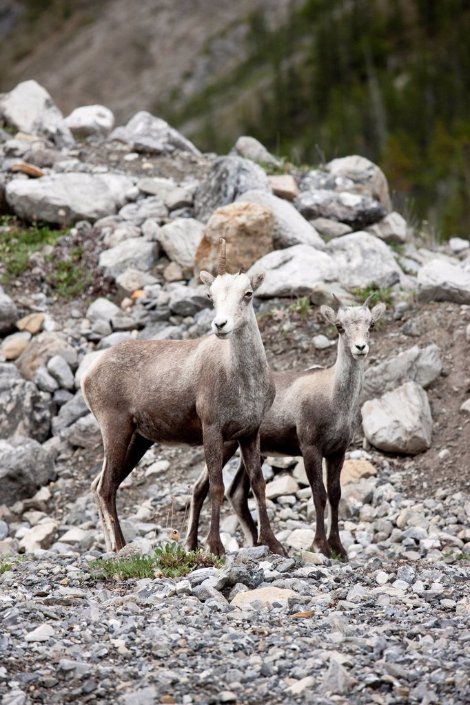 Stock Photo: 1990-46828 A female Stone Sheep Ovis dalli stonei with one horn and its lamb, Muncho Lake Provincial Park, British Columbia, Canada
