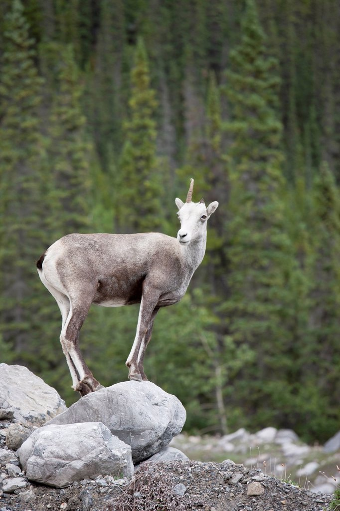 Stock Photo: 1990-46830 One horned female Stone Sheep Ovis dalli stonei, Muncho Lake Provincial Park, British Columbia, Canada