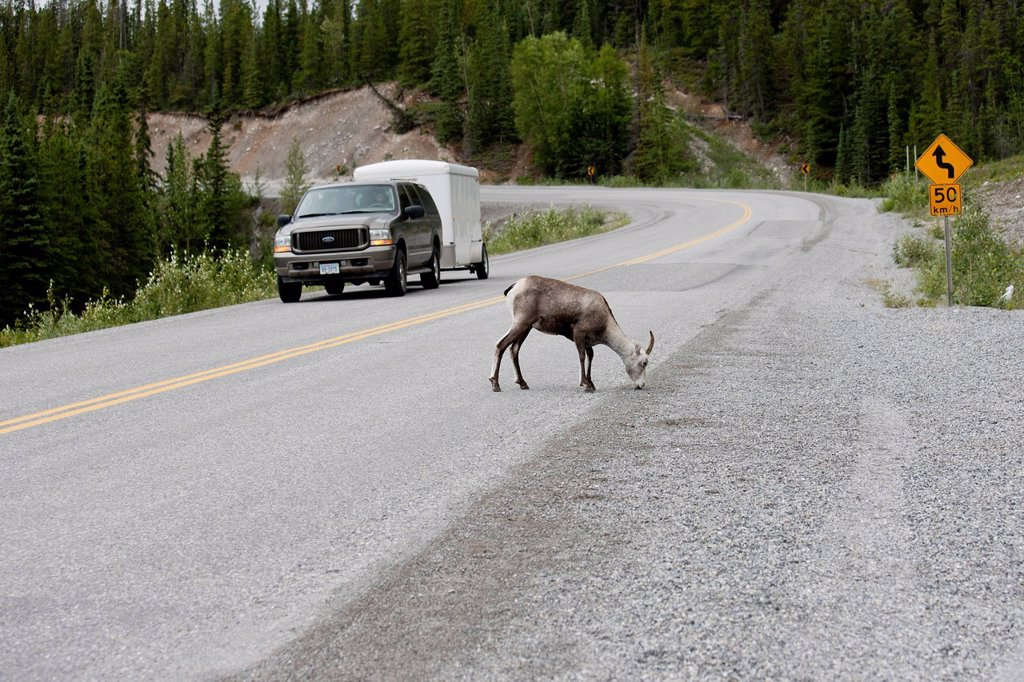 One horned female Stone Sheep Ovis dalli stonei eating salts pose a traffic hazard on the Alaska Highway in Muncho Lake Provincial Park, British Columbia, Canada : Stock Photo