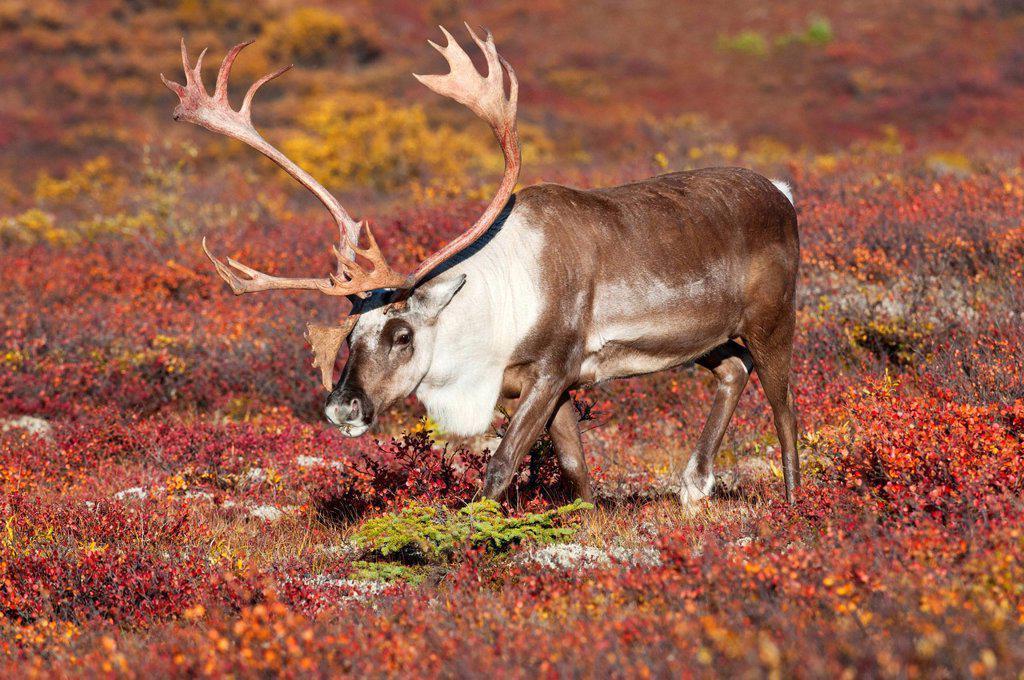 Barren_ground caribou Rangifer tarandus granti, bull, on fall tundra, Denali National Park, Alaska, United States of America : Stock Photo