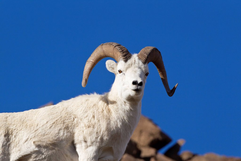 Dall sheep Ovis dalli dalli, ram, Polychrome Pass, Denali National Park, Alaska, United States of America : Stock Photo