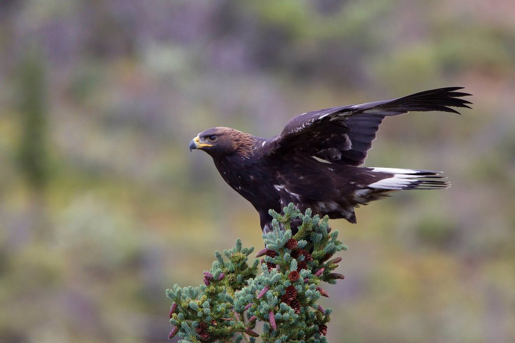 Golden eagle Aquila chrysaetos, juvenile, clinging to spruce in strong wind, Denali National Park, Alaska, United States of America : Stock Photo