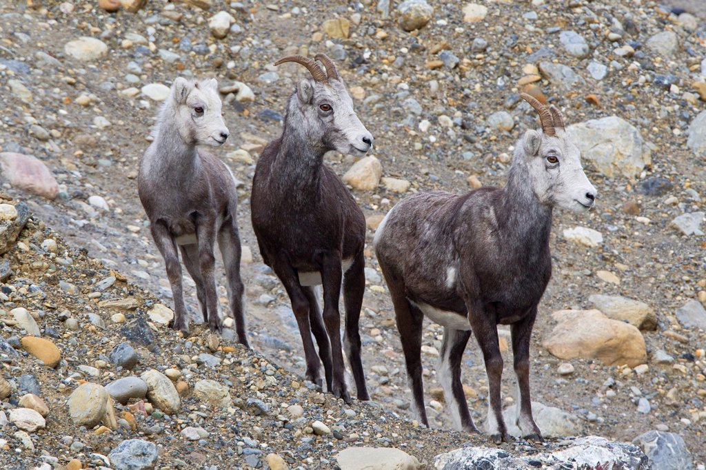 Stone sheep Ovis dalli stonei, lamb and ewes, Muncho Lake Provincial Park, British Columbia, Canada : Stock Photo