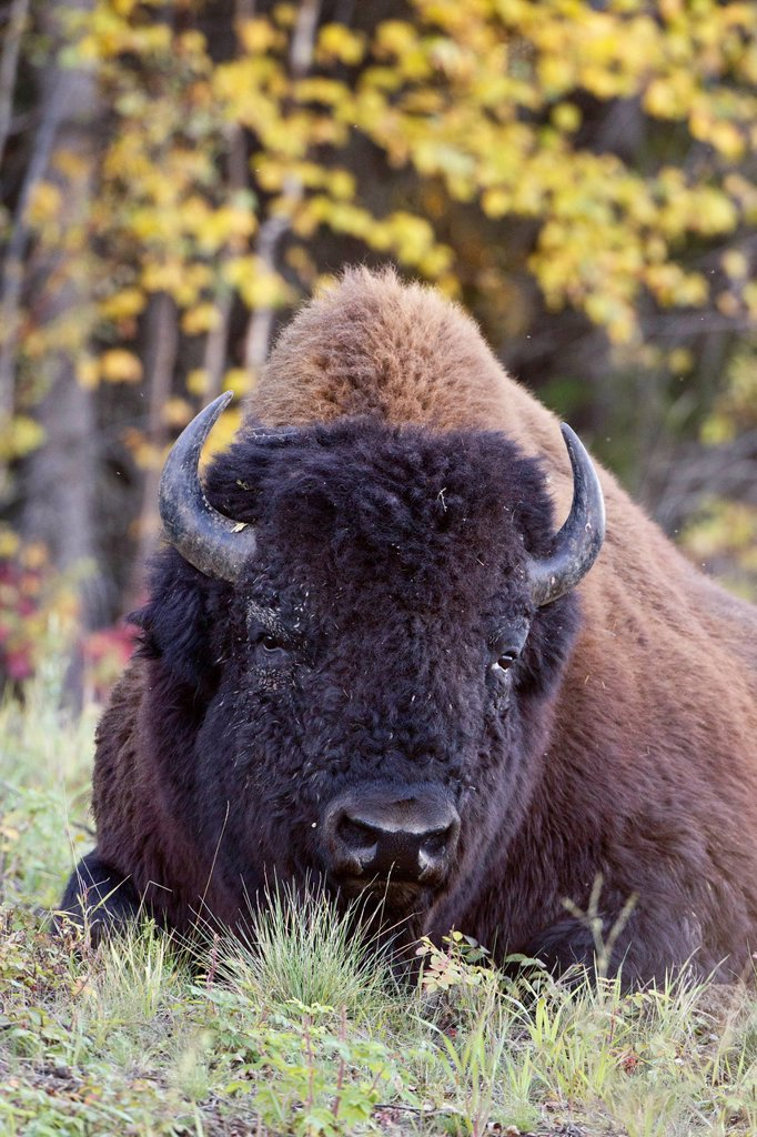 Wood bison Bison bison athabascae, bull, along the Alcan Highway between Watson Lake, Yukon Territory and Liard Hot Springs, British Columbia, Canada : Stock Photo