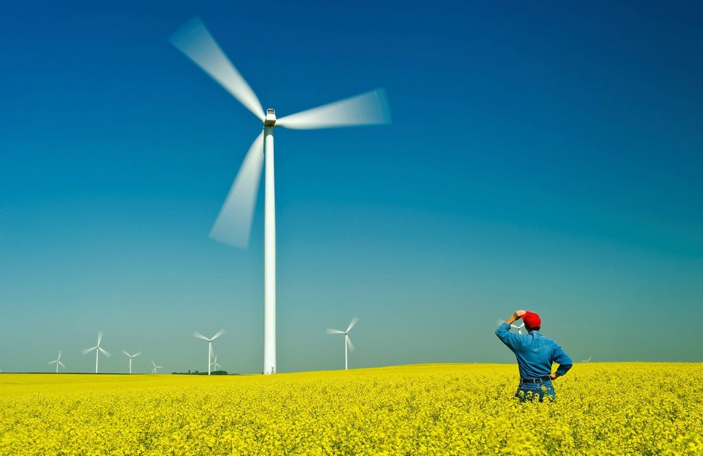 A man looks out over a bloom stage canola field with wind turbines, near St. Leon, Manitoba, Canada : Stock Photo
