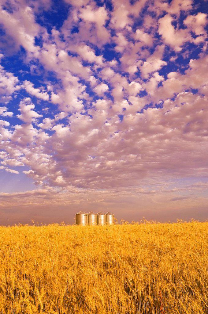 Stock Photo: 1990-47326 Mature winter wheat field with grain storage bins in the background, near Carey, Manitoba, Canada