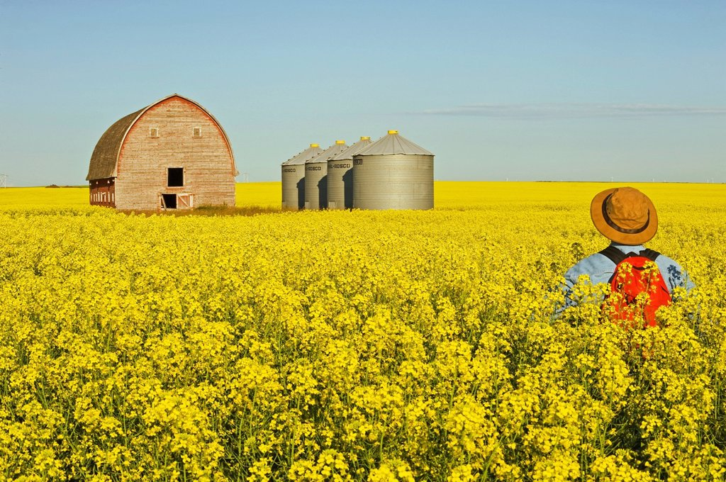 Stock Photo: 1990-47672 Man standing in bloom stage canola field with old barn and grain bins in the background, near Somerset, Manitoba, Canada