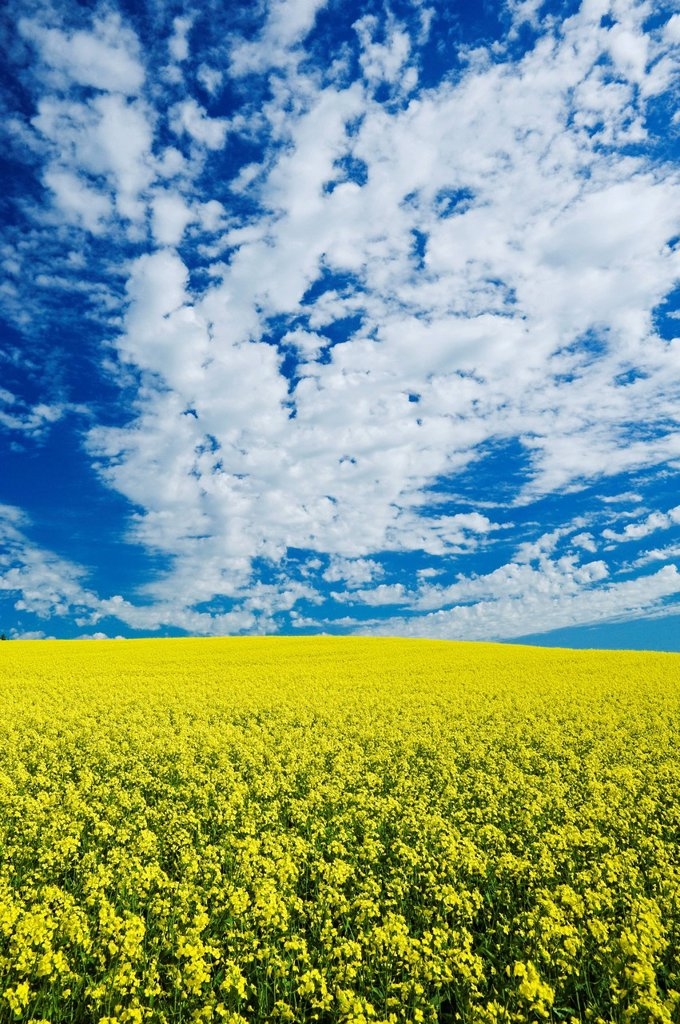Bloom stage canola field , Tiger Hills, Manitoba, Canada : Stock Photo