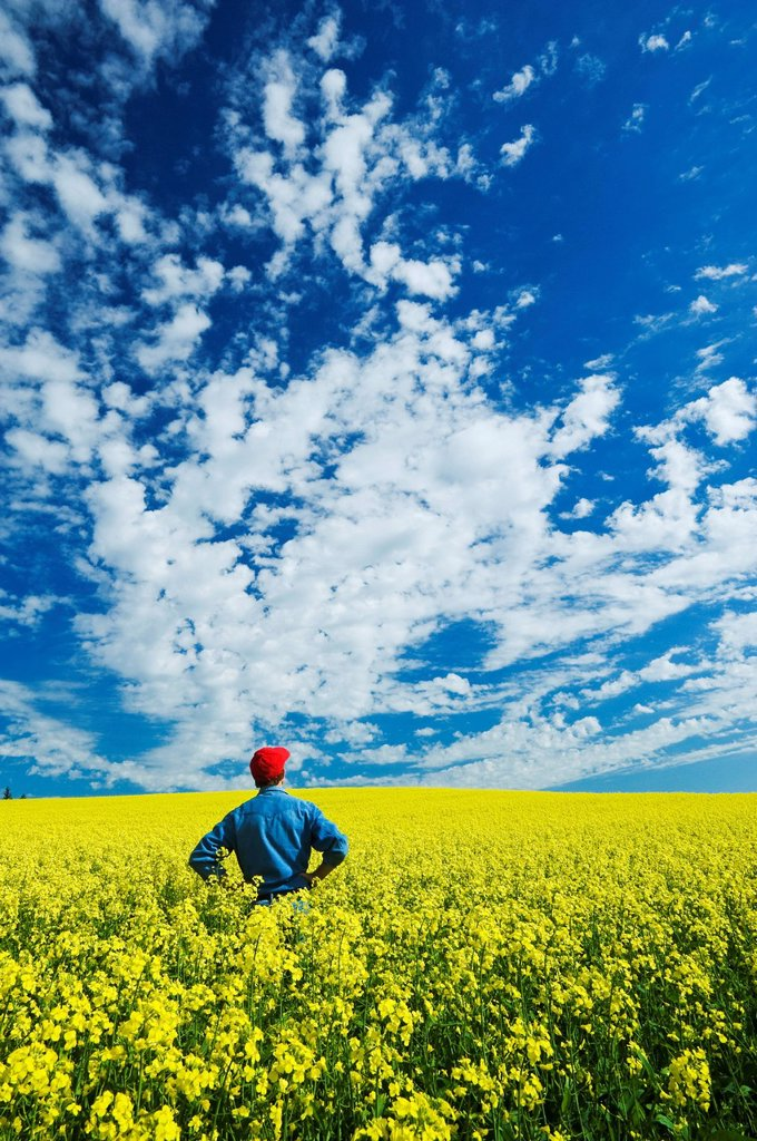 Man in bloom stage canola field , Tiger Hills, Manitoba, Canada : Stock Photo