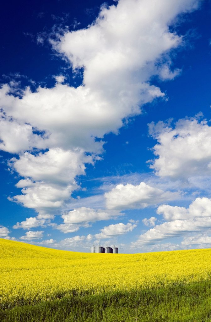 A field of bloom stage canola with grain binssilos in the background, Tiger Hills, Manitoba, Canada : Stock Photo
