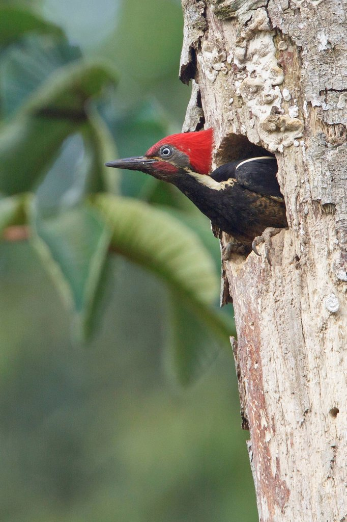 Stock Photo: 1990-48043 Lineated Woodpecker Dryocopus lineatus perched on a branch near its nest cavity in Costa Rica.