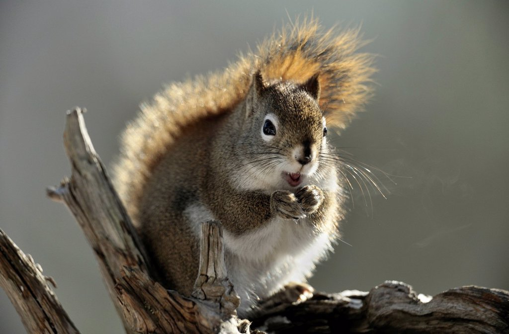 Stock Photo: 1990-48544 Red Squirrel Tamiasciurus hudsonicus, Lively, Greater Sudbury, Ontario, Canada