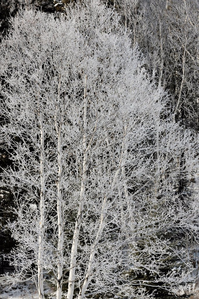 Frosted White birch Betula papyrifera in Junction Creek valley, Greater Sudbury, Ontario, Canada : Stock Photo