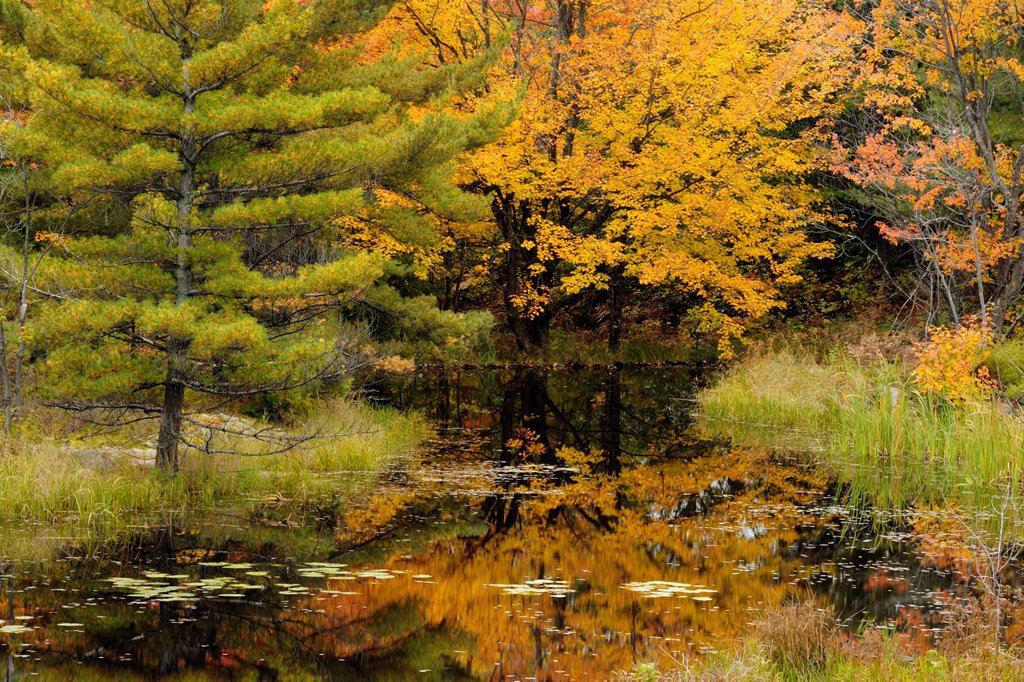 Pine and maple reflected in beaver pond, Ontario, Canada : Stock Photo