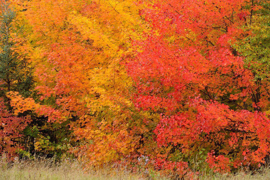 Temperate deciduous forest trees in peak autumn colour, Algonquin Provincial Park, Ontario, Canada : Stock Photo