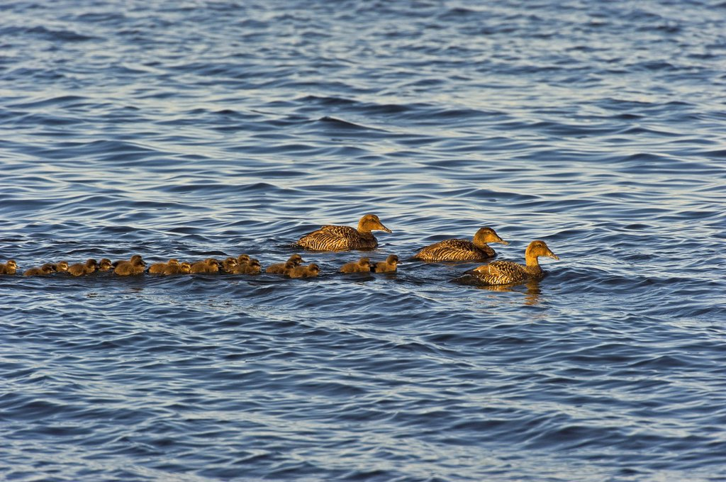 Common Eider southern race Somateria mollissima dresseri hens with young and ´aunts´ nonbreeding females who travel with ducklings and their moms to help protect from predators along the Atlantic Ocean shoreline in late Spring near Halifax, Nova Scotia, C. Common Eider southern race Somateria mollissima dresseri hens with young and ´aunts´ nonbreeding females who travel with ducklings and their moms to help protect from predators along the Atlantic Ocean shoreline in late Spring near Halifax, No : Stock Photo