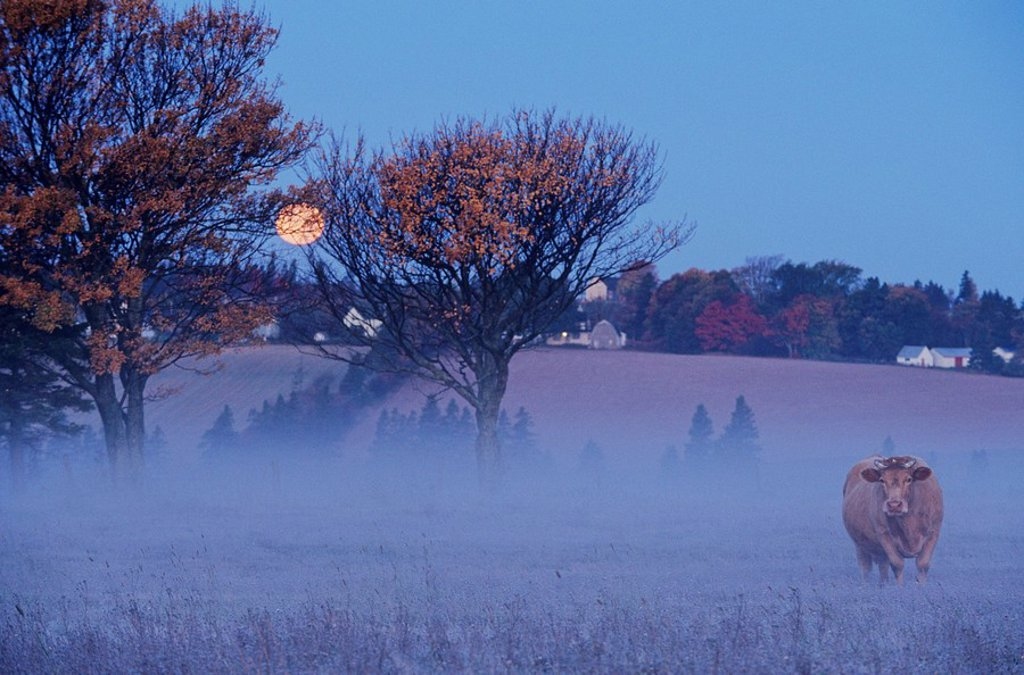 Cow under a Harvest Moon, Meadow Bank, Prince Edward Island, Canada : Stock Photo