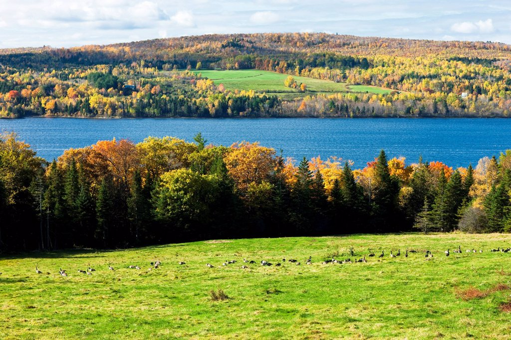 Canada Geese, Saint John River in fall near Woodstock, New Brunswick, Canada : Stock Photo